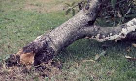 texas root rot