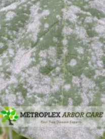 Powdery Mildew Treatment