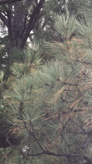 Pine Bark Beetles Treatment