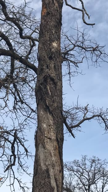 Sudden Oak Death Treatment